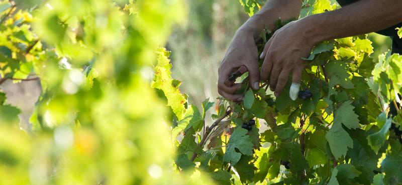 la culture de la vigne au domaine de l'Ausseil
