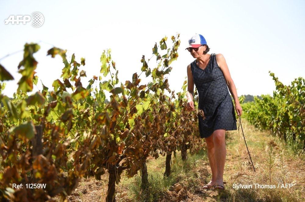 Catherine Bernard - canicule - vignes - Hérault