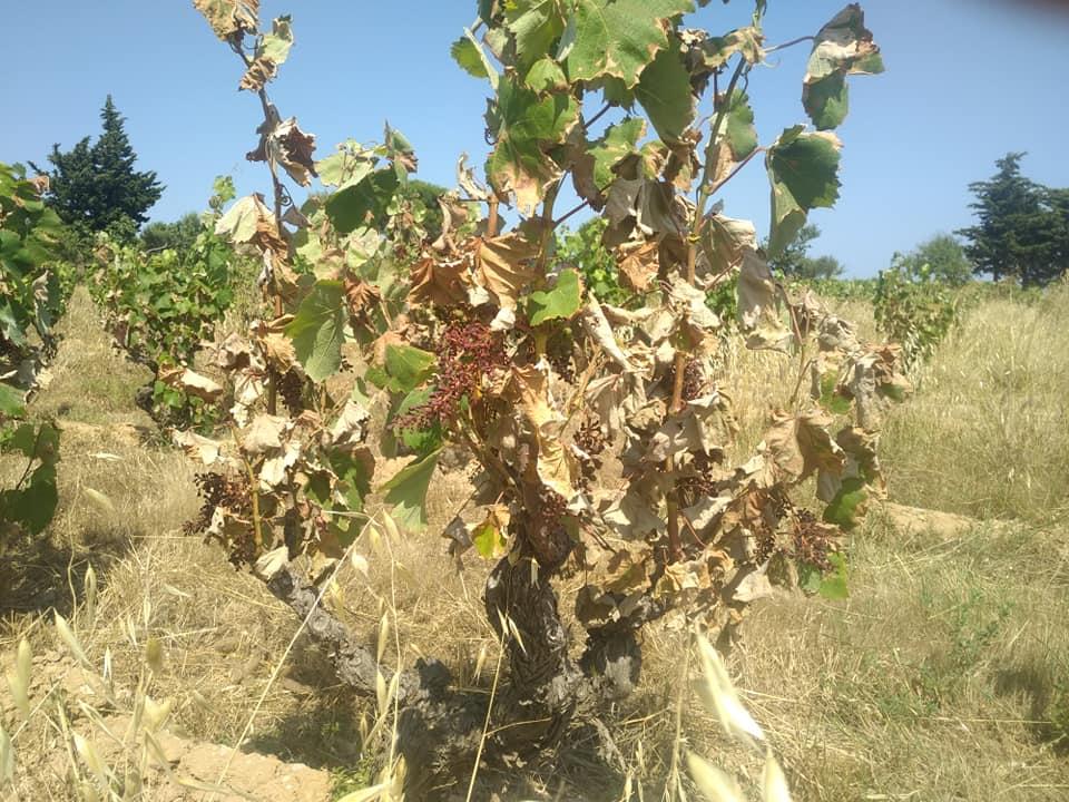 Domaine Mamaruta - canicule - vignes brulees