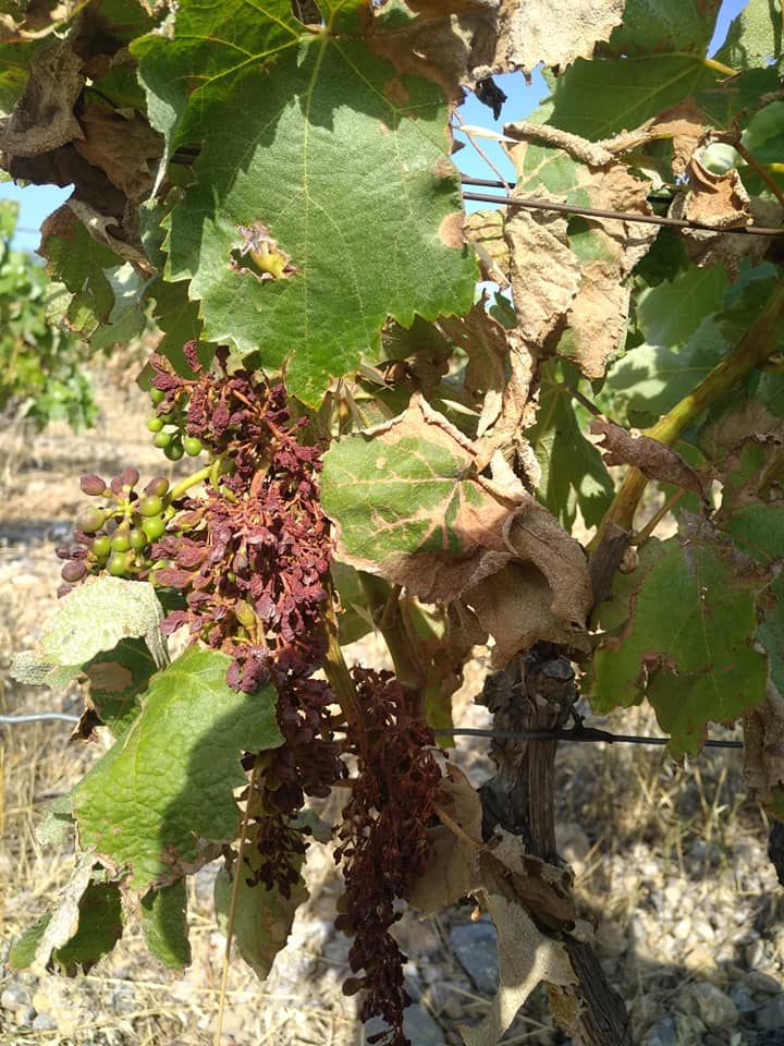 Domaine Mamaruta - Marc Castan - vignes brulees - canicule